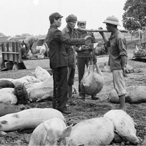 Mổ lợn phải có giấy phép và chuyện đụng lợn Tết chui thời bao cấp